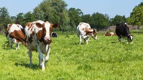 在领域的好奇棕色母牛 免版税图库摄影