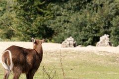 在领域的孤独的母鹿 图库摄影