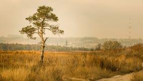 在领域的孤立杉木 免版税库存图片