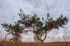 在领域的孤零零杉木 免版税库存照片