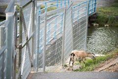 在领域的山羊 免版税库存图片