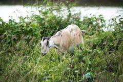 在领域的山羊 免版税库存照片