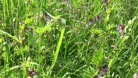 在领域的巢菜属植物花 行动照相机,有steadicam的全景 股票视频