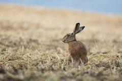 在领域的布朗野兔,斯洛伐克 免版税库存照片