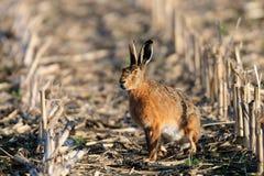 在领域的布朗野兔 库存照片