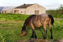 在领域的布朗马 在马后的农场 图库摄影