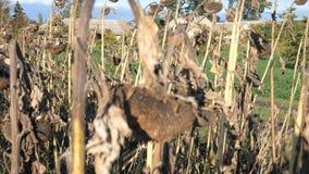 在领域的干向日葵在秋天 收获向日葵种子在秋天 一个向日葵特写镜头视图的干燥茎在a的 股票录像