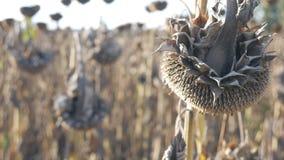 在领域的干向日葵在秋天 收获向日葵种子在秋天 一个向日葵特写镜头视图的干燥茎在a的 股票视频