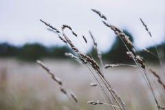 在领域的干被染黄的草钉在秋天天空的背景 在白色被弄脏的背景的干草特写镜头 免版税库存照片
