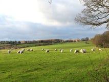 在领域的年轻人绵羊在Bullsland农场,Chorleywood 库存图片