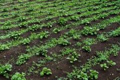 在领域的年轻绿色发芽的土豆射击 库存图片