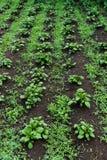 在领域的年轻绿色发芽的土豆射击 免版税图库摄影