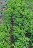 在领域的年轻绿色发芽的土豆射击 免版税库存照片