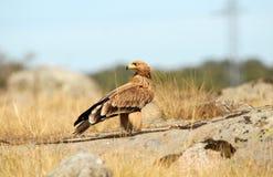 在领域的幼小皇家老鹰 免版税图库摄影
