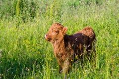 在领域的幼小高地母牛 免版税库存照片