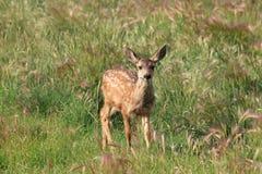 在领域的幼小鹿 库存照片