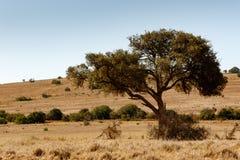 在领域的庇荫树 免版税库存照片