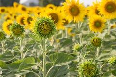 在领域的开花的向日葵 图库摄影