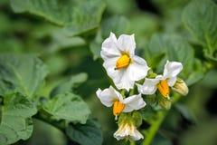 在领域的开花的土豆与小白花 免版税库存照片