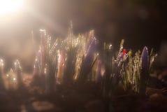 在领域的开花的番红花 免版税库存图片
