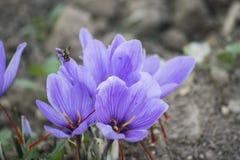 在领域的开花的番红花 库存照片