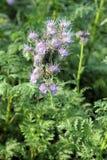 在领域的开花的Phacelia tanacetifolia 库存图片