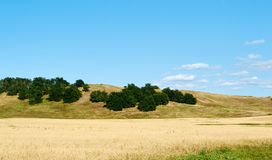在领域的很多麦子 库存照片