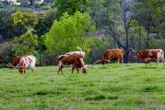 在领域的得克萨斯长角牛 免版税库存照片