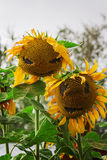 在领域的愉快的向日葵,与一张微笑的面孔 免版税库存图片