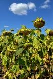 在领域的成熟向日葵 免版税库存照片
