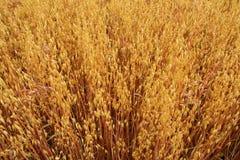 在领域的成熟燕麦 库存图片