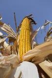 在领域的成熟玉米准备好收获 免版税库存图片