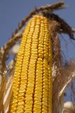 在领域的成熟玉米准备好收获 免版税图库摄影