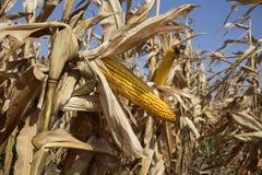 在领域的成熟玉米准备好收获 库存图片