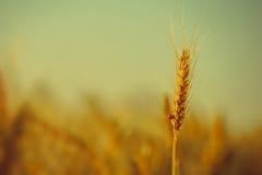 在领域的成熟的earing的黄色干麦子爬行的瓢虫 库存照片