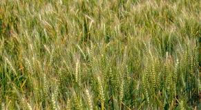 在领域的成熟麦子作为背景 免版税图库摄影
