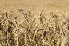在领域的成熟麦子草之小穗 免版税库存图片