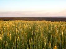 在领域的成熟麦子 图库摄影