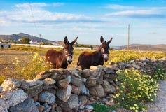 在领域的拖曳驴与野花。米科诺斯岛。希腊。 库存图片