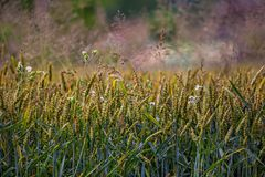 在领域的新鲜的年轻麦子与野花 免版税库存图片