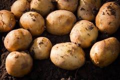 在领域的新鲜的有机土豆 免版税库存照片