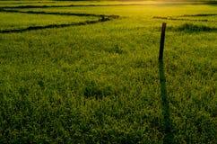 在领域的新鲜的绿色年轻米树 免版税图库摄影