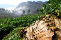 在领域的新鲜的草莓 免版税库存照片