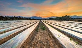在领域的早晨视图与玉米被开化的种子和年幼植物  免版税图库摄影