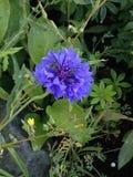 在领域的明亮的紫色野花 免版税库存图片