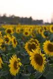 在领域的明亮的黄色向日葵 库存照片