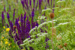 在领域的明亮的紫色野花 免版税库存照片
