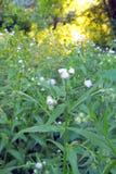 在领域的春黄菊 库存图片
