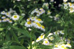 在领域的春黄菊 库存照片