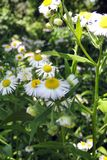 在领域的春黄菊 图库摄影